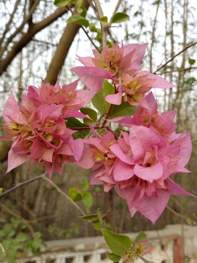Różowy piękno w kwiacie w ten sposób pięknym fotografia stock