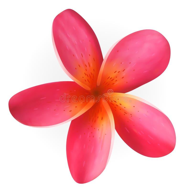 Różowy Plumeria kwiat odizolowywający na bielu ilustracji
