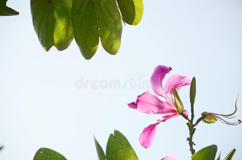 Download Różowy Poślubnik Natury I Kwiatu Tło Zdjęcie Stock - Obraz złożonej z aloha, kwiat: 53777614