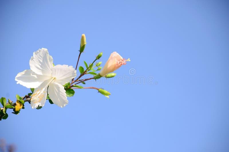 Download Różowy Poślubnik Natury I Kwiatu Tło Obraz Stock - Obraz złożonej z pióro, poślubnik: 53777623