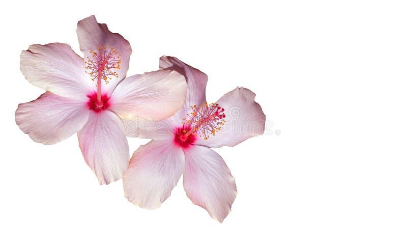 różowy poślubnika white zdjęcia royalty free