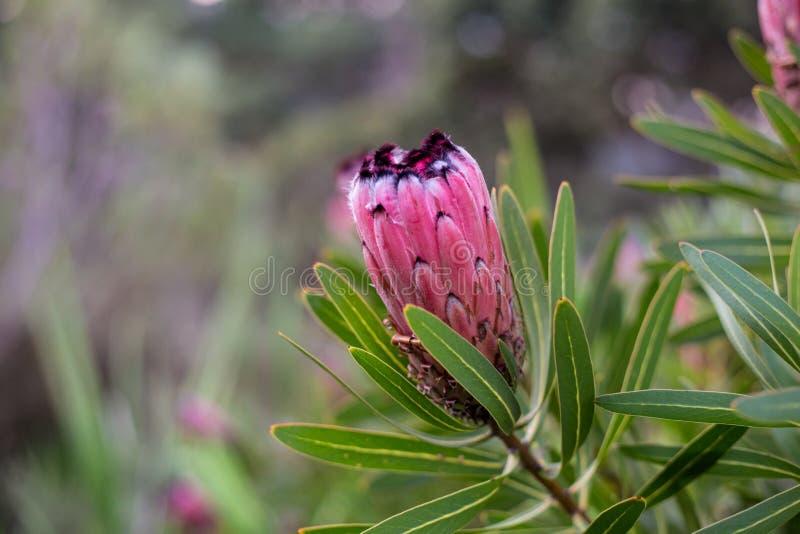 Różowy protea kwiat zdjęcie stock