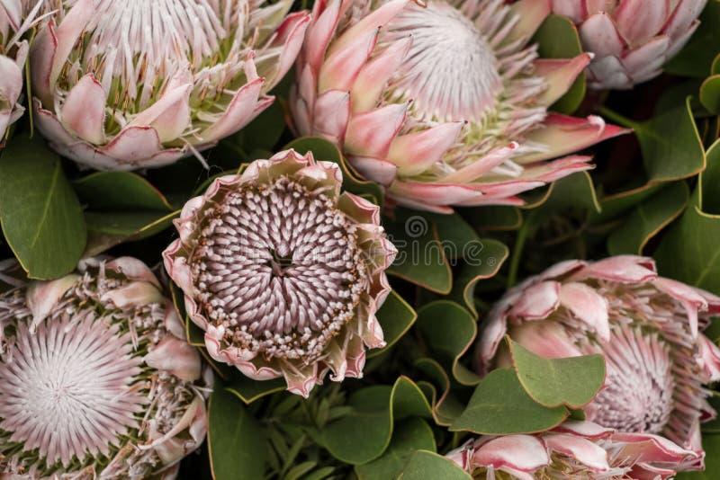 Różowy protea kwitnie, krajowy kwiat Południowa Afryka obrazy royalty free