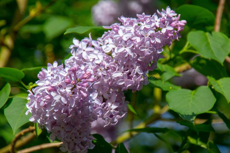 Różowy purpurowy bez z zielonym fotolia zdjęcie royalty free