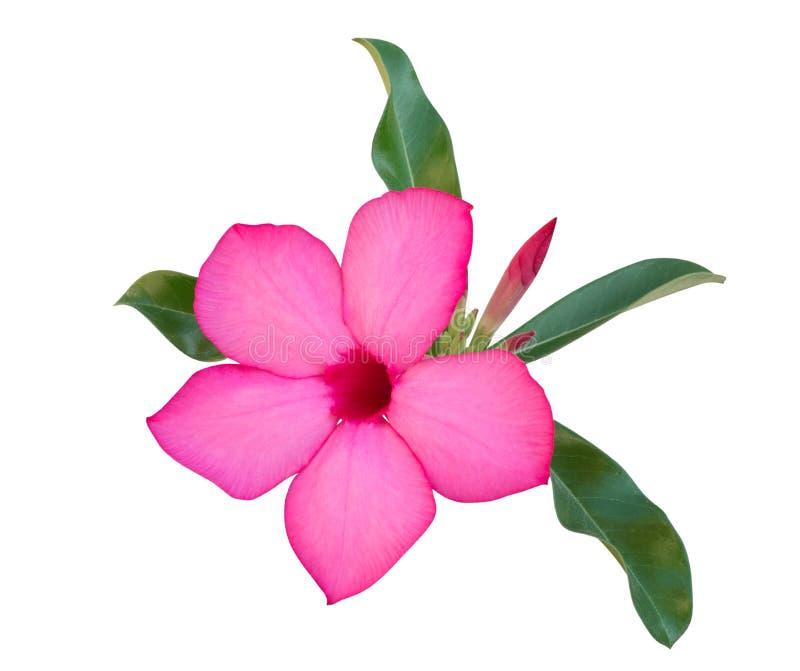 Różowy pustyni róży kwiatu Adenium, azalia odizolowywająca na białym tle, ścieżka obrazy royalty free