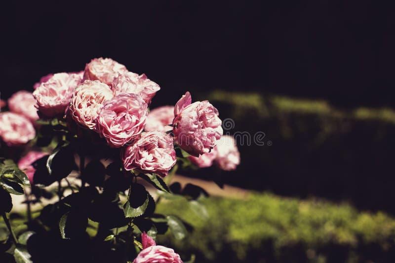 R??owy r??a kwiat?w i ziele? li?ci t?o, ciemny tonowanie kosmos kopii zdjęcie stock