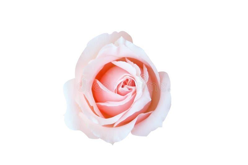 Różowy róży tło, Odgórny widok odizolowywa pięknej menchii róży na białym tle fotografia stock