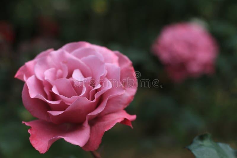 Różowy rad róży kwiat dla miłości fotografia stock