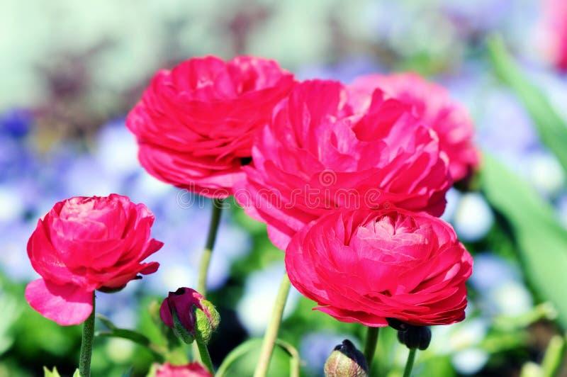 Różowy ranunculus kwiatu jaskier w okwitnięciu fotografia stock
