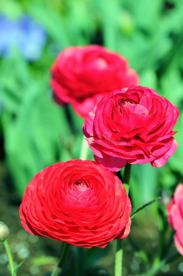 Różowy ranunculus kwiatu jaskier w okwitnięciu zdjęcia royalty free