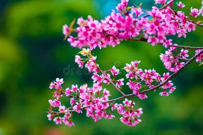 różowy Sakura obrazy stock