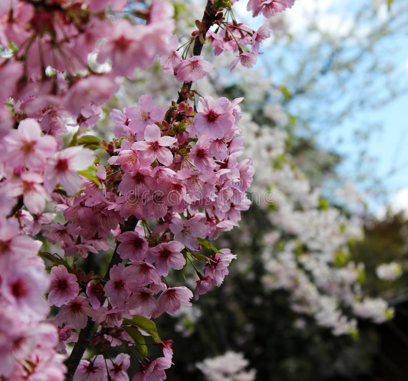 Różowy Sakura czereśniowy okwitnięcie zdjęcia stock