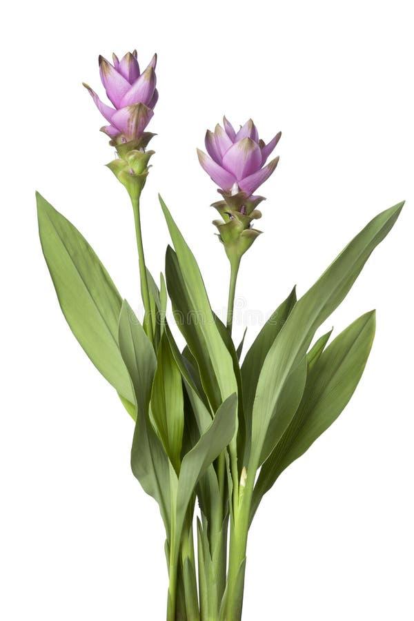Różowy Siam tulipan fotografia stock