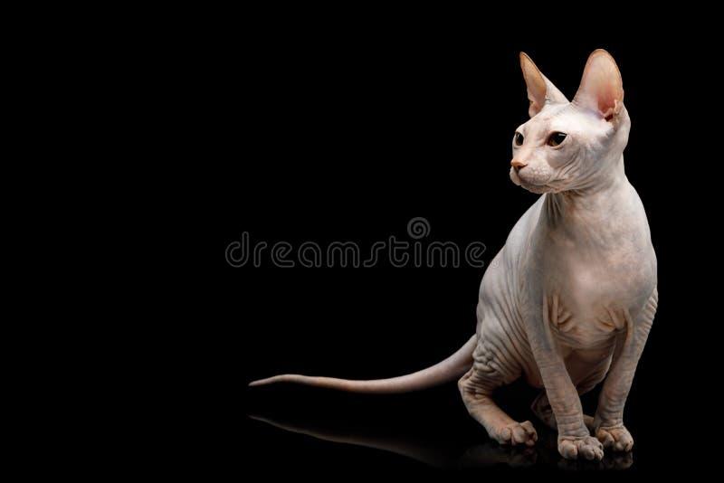 Różowy Sphynx kot Odizolowywający na Czarnym tle obraz stock