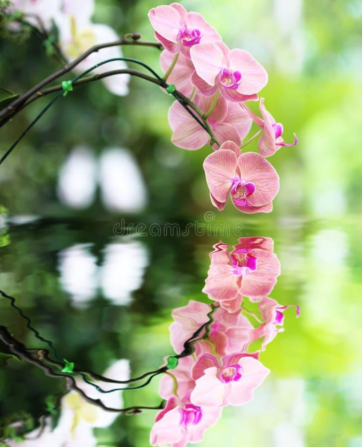 Różowy storczykowy kwiat i odbicie w wodzie obrazy royalty free