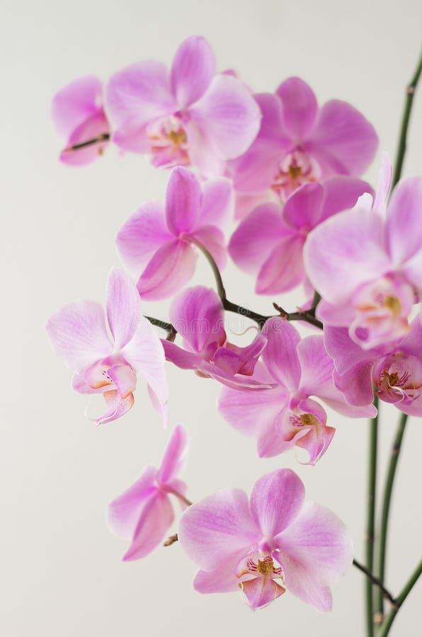 Różowy storczykowy phalaenopsis na lekkim tle Kwiatonośne orchidee obraz royalty free