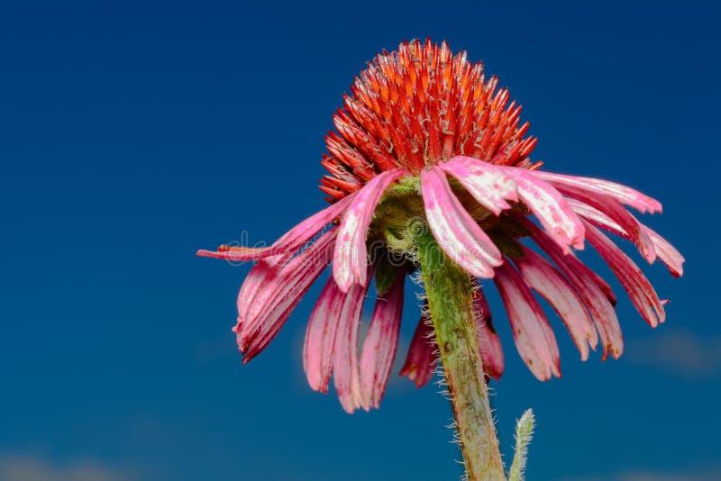 Różowy Szyszkowy kwiatu zbliżenie przeciw niebieskiego nieba tłu (Echinacea purpurea) obrazy royalty free