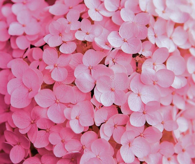 Różowy tło hortensja kwiaty zdjęcie stock