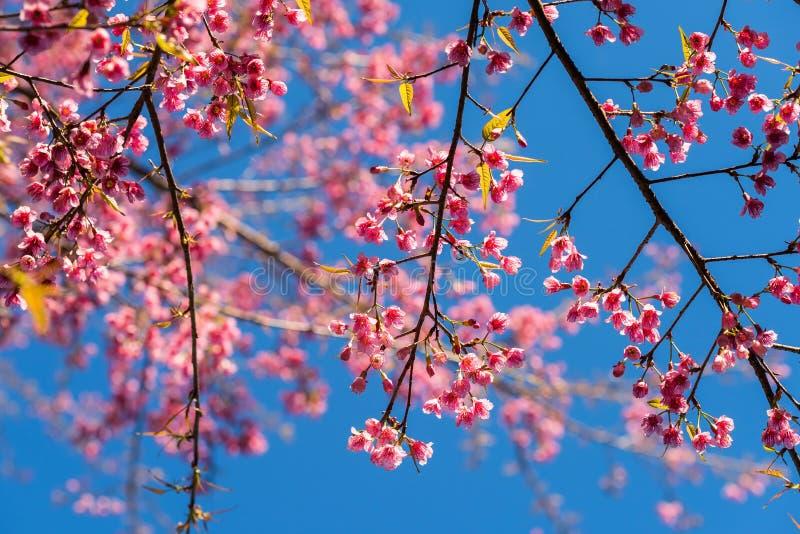 różowy Tajlandzki Sakura kwiatu okwitnięcie fotografia royalty free