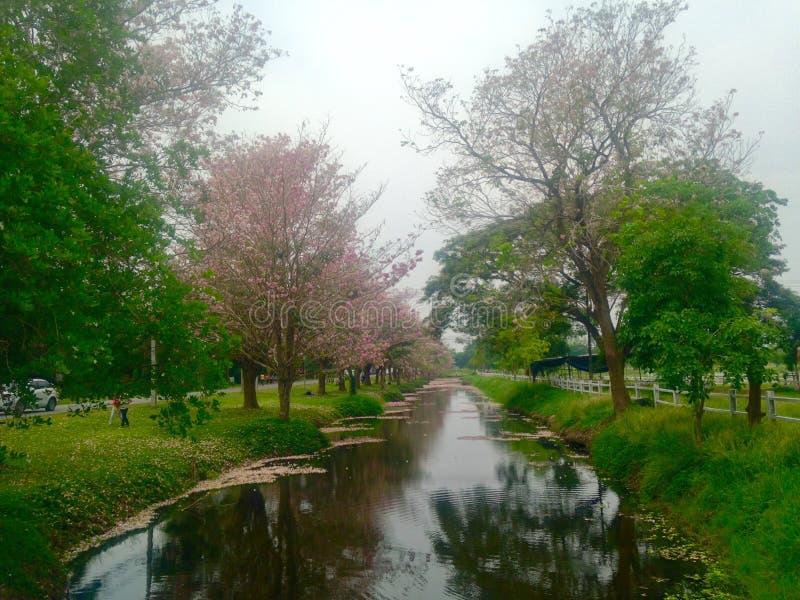 Różowy Tecoma w Kasetsart Kamphaengsaen Uniwersyteckim kampusie zdjęcie royalty free