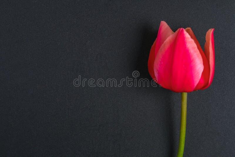Różowy tulipan na szarym betonowym tle kredowej desce i obraz stock