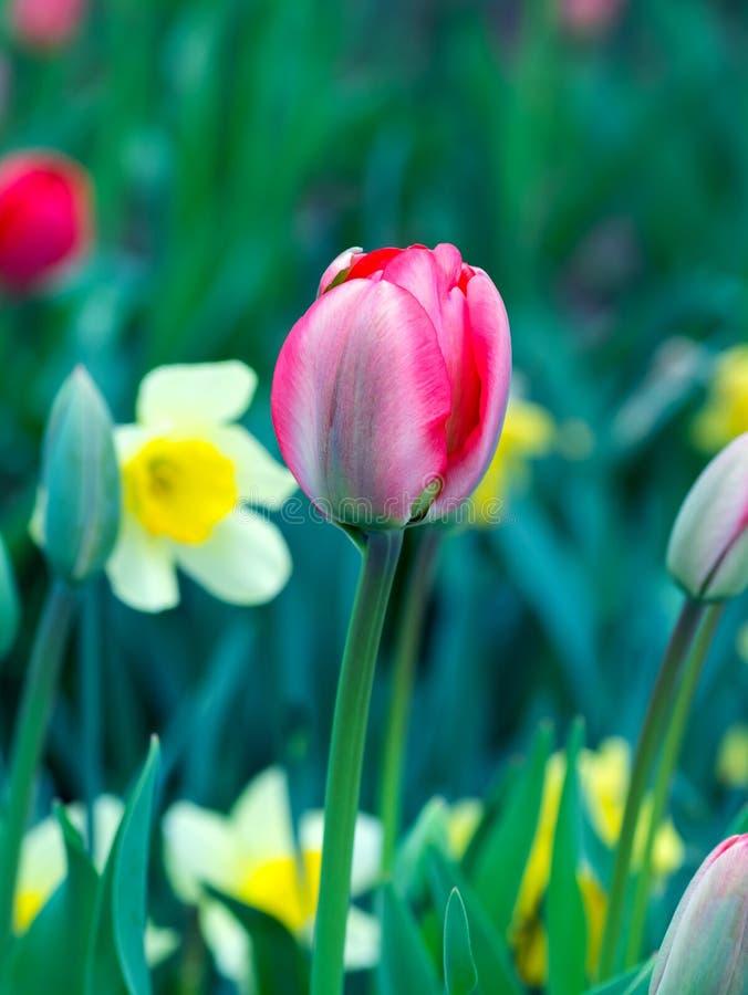 Różowy tulipan przeciw białym daffodils, zdjęcie stock