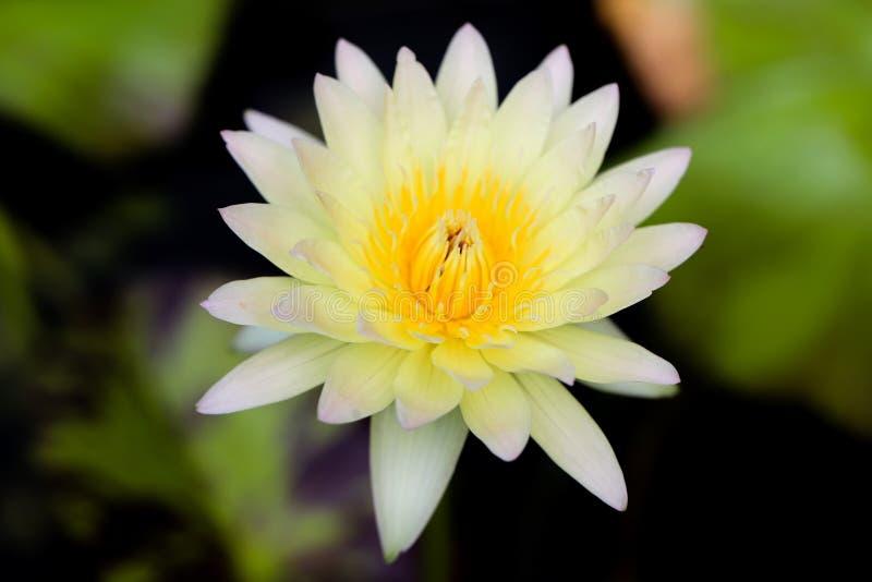 różowy waterlily obrazy royalty free