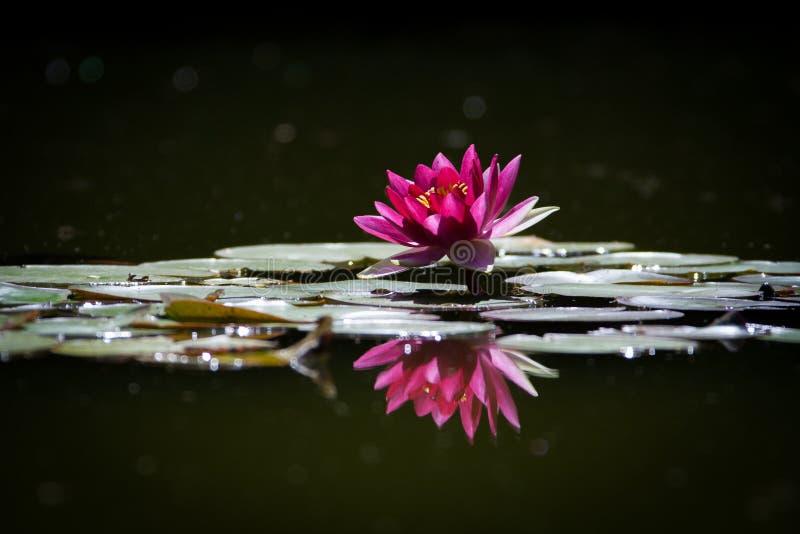 Różowy waterLily obraz stock