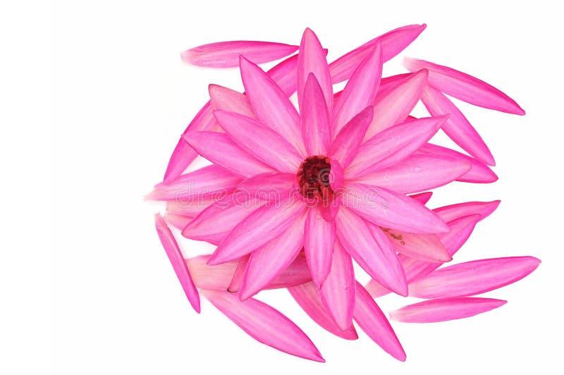 Różowy wodnej lelui kwiat obraz stock