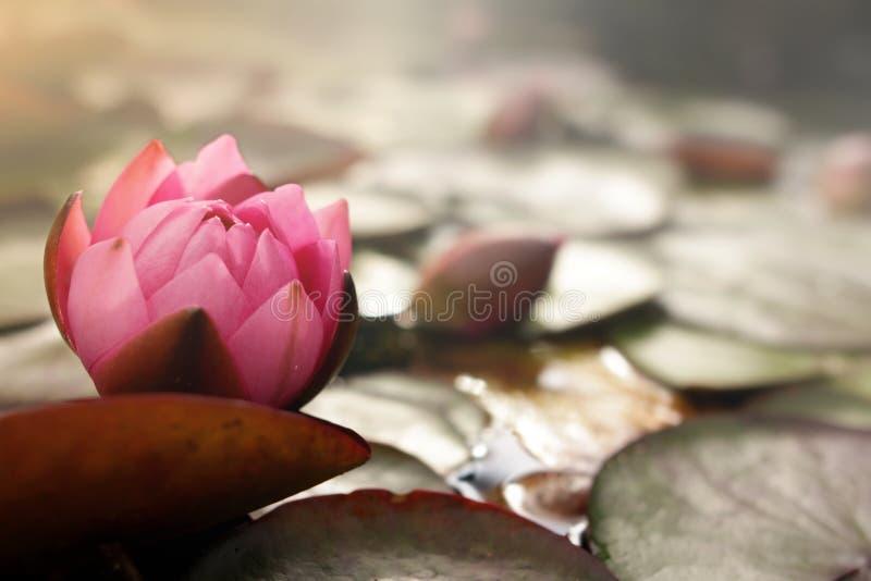 różowy wodnej lelui okwitnięcie na stawie z lotosowymi liśćmi w jaskrawym pogodnym lekkim nastroju fotografia stock