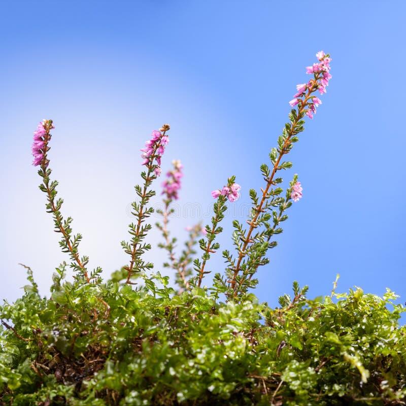 Różowy wrzosowiskowy kwiat obraz stock