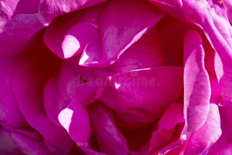różowy zamknięcia powstali zdjęcia royalty free