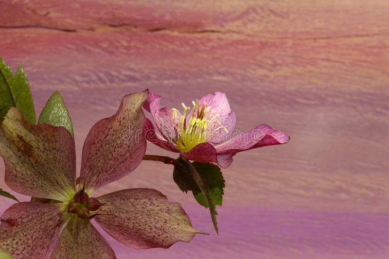 Różowych bożych narodzeń ciemiernika Niger różani kwiaty zdjęcia royalty free