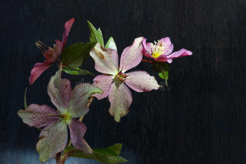 Różowych bożych narodzeń ciemiernika Niger różani kwiaty zdjęcie stock
