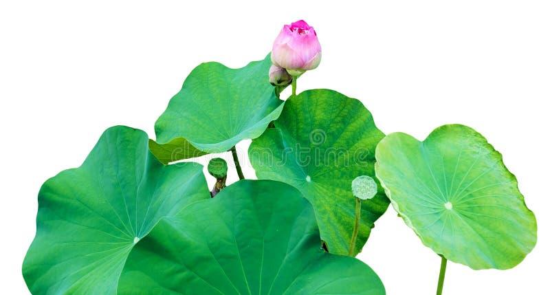 Różowych lotosu pączka liści zielony gaj fotografia stock