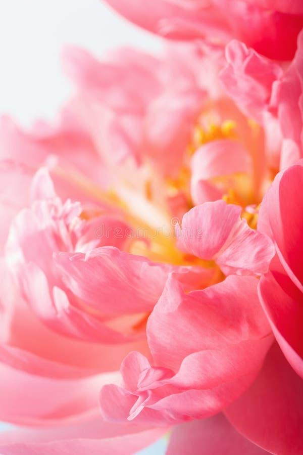 Różowych peonia kwiatu płatków makro- tło zdjęcie stock