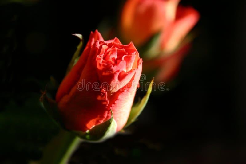 ' różyczka ' obraz stock