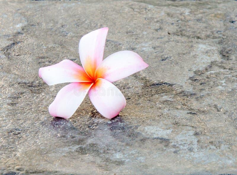 Download Różowi plumeria kwiaty zdjęcie stock. Obraz złożonej z naturalny - 28973448