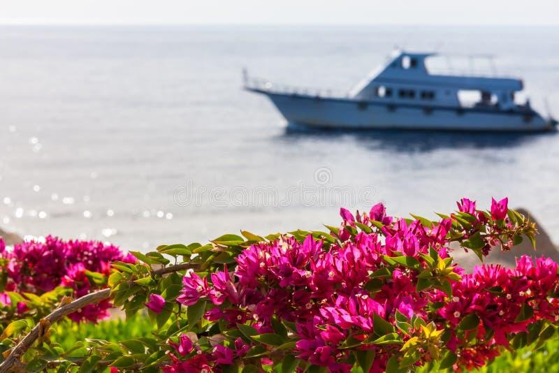 Download Różowy Bougainvillea, Sharm El Sheikh, Egipt Zdjęcie Stock - Obraz złożonej z tło, greenbacks: 53780296