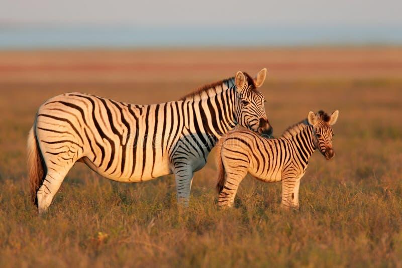 równiien zebry zdjęcie royalty free