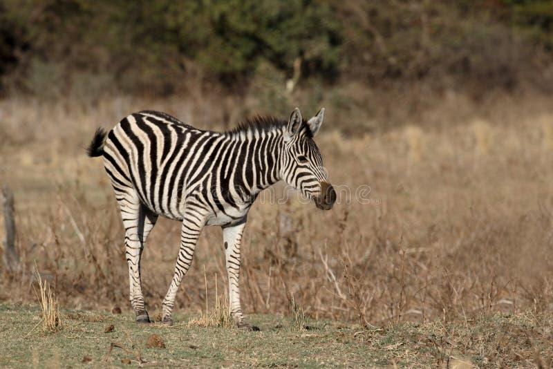 Równiny lub Burchells zebra, Equus kwaga zdjęcia royalty free
