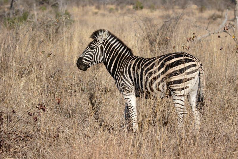 Równiny lub Burchells zebra, Equus kwaga obrazy royalty free