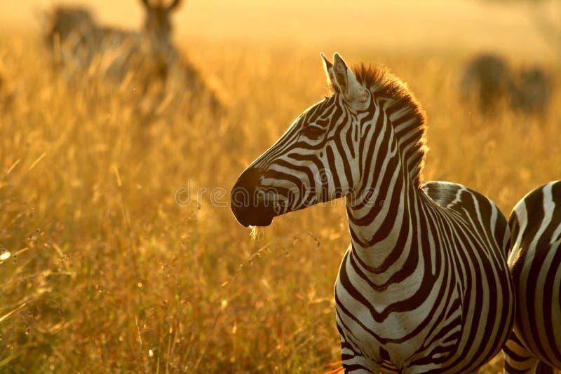 równiny zebra obrazy royalty free