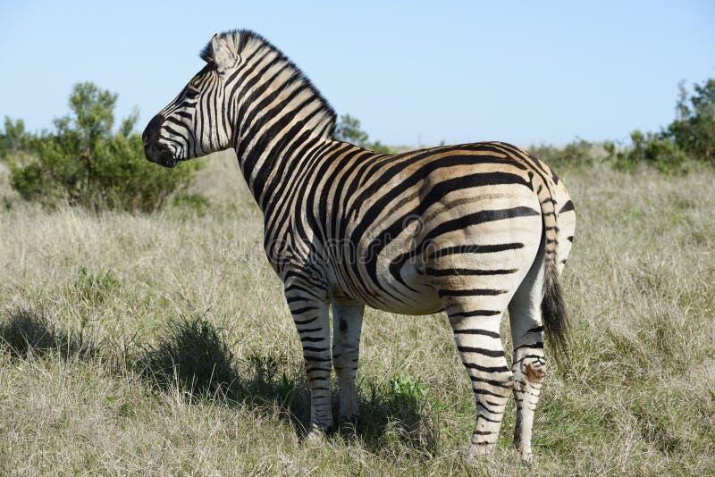Równiny zebra, Addo słonia park narodowy obraz royalty free