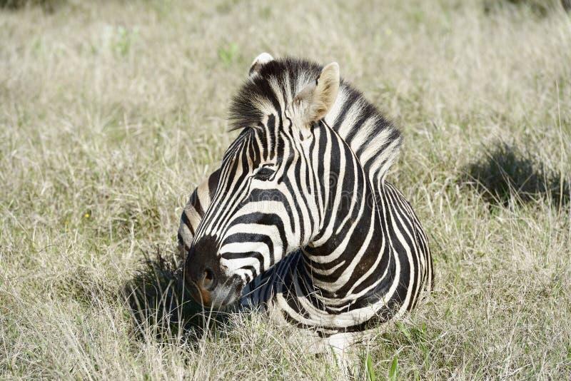 Równiny zebra, Addo słonia park narodowy obrazy stock