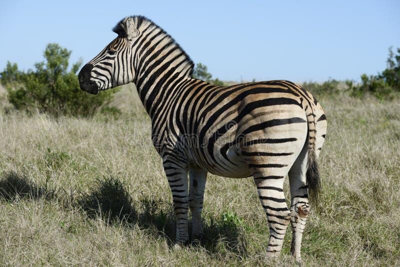 Równiny zebra, Addo słonia park narodowy zdjęcie royalty free