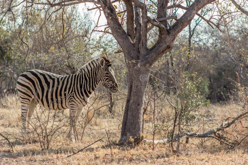 Równiny zebra enyouing ranku słońce fotografia stock