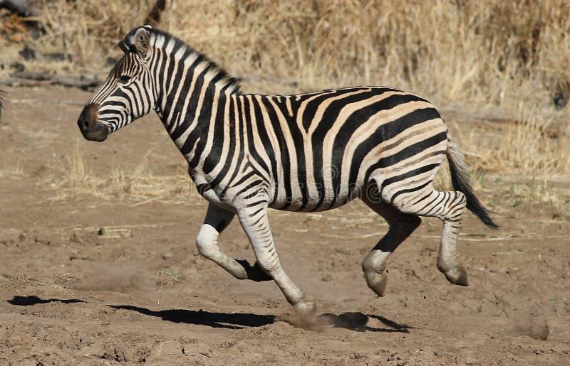 Równiny zebra Equus kwaga, (pospolita zebra lub Burchell zebra) fotografia royalty free
