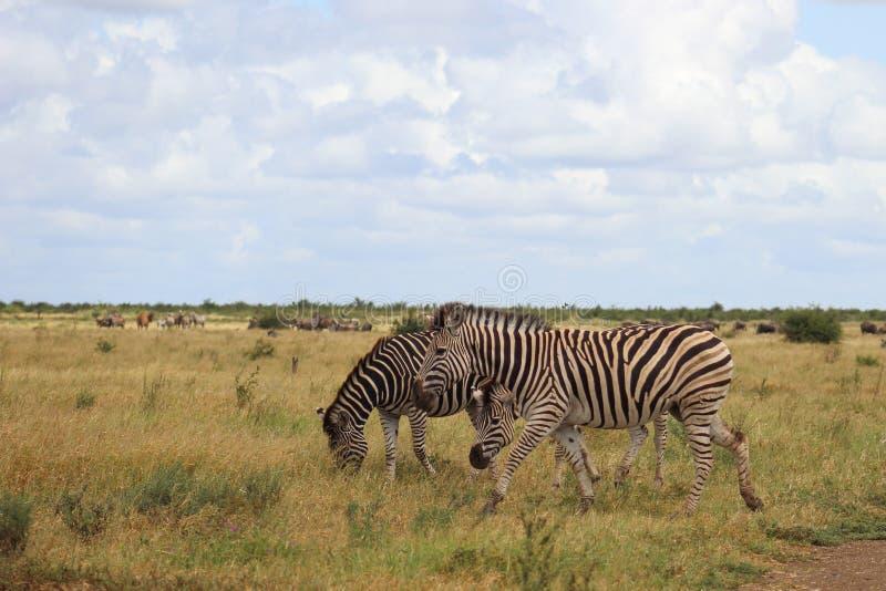 Równiny zebra & x28; Equus quagga& x29; fotografia stock