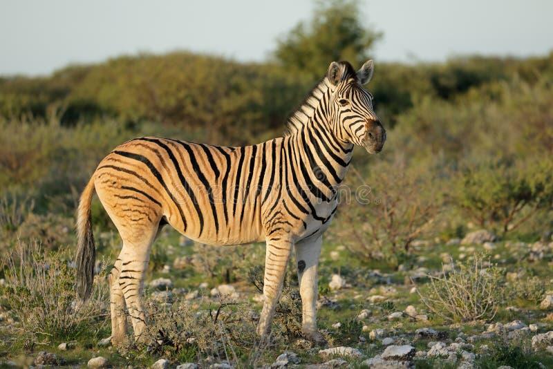 Równiny zebra - Etosha park narodowy obrazy stock